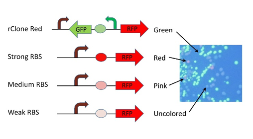 Figure 4. Results from rClone experiments.  Diagrams show various RBS strengths in rClone Red and photograph is an example of an rClone Red RBS N8 library plate. RBS = ribosome binding site.