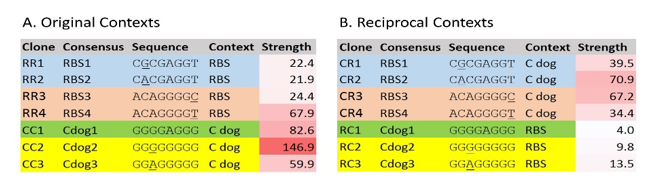 Figure 8. Strengths of consensus validating sequences in simple RBS and C dog RBS contexts.  A. Strengths of consensus validating sequences in their original contexts. B. Strengths of consensus validating sequences in the reciprocal contexts. The first letter of each clone name indicates the context in which the sequence is being tested, with R for RBS and C for C dog. The second letter of each clone name indicates the type of library from which the consensus was developed, with R for RBS and C for C dog. Underlined bases vary in a given consensus sequence. Colors highlight related validation sequences. Strength numbers represent the percentage of RFP produced compared to C10 in Figure 6. RBS = ribosome binding site; C dog = bicistronic RBS; RFP = red fluorescent protein.