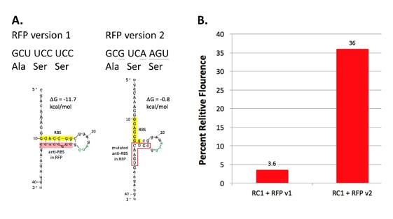 Figure 11. Testing anti-RBS hypothesis to explain reduced RBS function in rClone Red.  A. Two versions of RFP mRNA encoding the same three amino acids immediately following the start codon. The underlined letters indicate mutated bases. RNA structure and ΔG were calculated by mFold. B. The percentage of RFP protein produced (relative to C10 in Figure 6) by the two versions of rClone Red. RBS = ribosome binding site; RFP = red fluorescent protein.