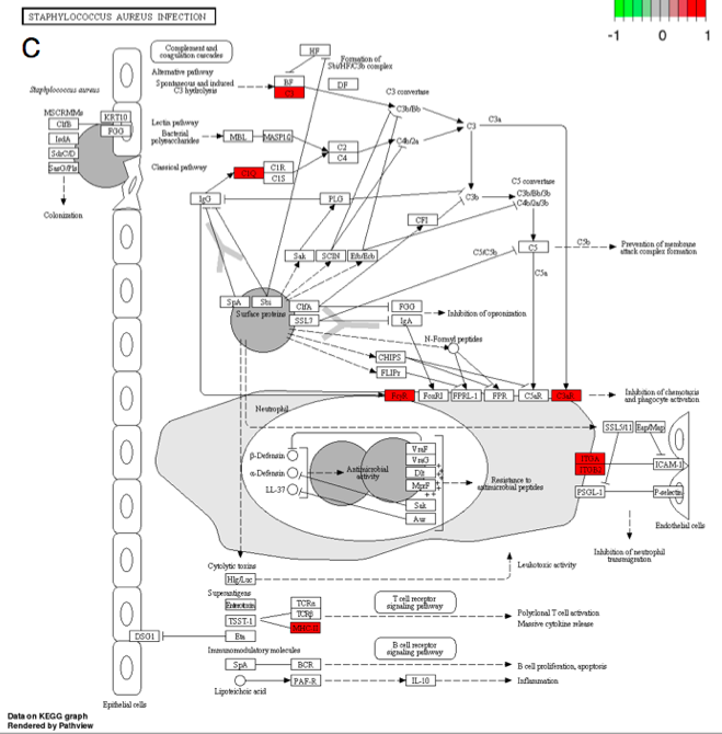Figure 3C.   Response to S. aureus infection (mmu05150).