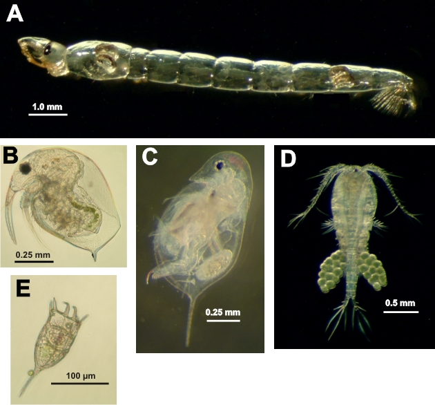FIGURE 1. Photomicrographs of Chaoborus (A) predators and common zooplankton prey: Bosmina (B), Daphnia (C), copepods (D) and rotifers (E).