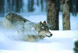 The gray wolf. The Yellowstone wolves were removed in 1926 and reintroduced in 1995. Source: Oregon State University.