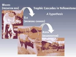A wide impact. Wolves may affect the food chain all the way down to the tree level. Their presence changes elk feeding behavior, which influences aspen sapling growth. Source: Oregon State University.