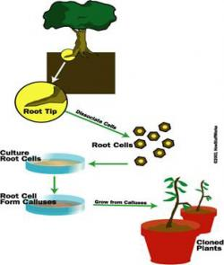 "Figure 1. Plant cloning through tissue culture propagation. One of genetic engineering's most powerful tools, cloning results in a ""replica"" of the original organism. In this diagram, a plant is shown being cloned by isolating its root cells and allowing them to grow in a nutrient-rich culture. The root cells will de-differentiate into calluses, or masses of non-specialized cells. These calluses can then be exposed to various plant hormones, stimulating them to grow and eventually develop into plants similar to the original plant. (Source: www.science.howstuffworks.com)"
