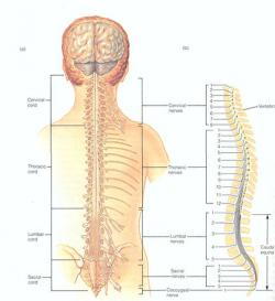 Figure 1 - Spinal cord showing the divisions and specific nerves coming out of each divisions. Courtesy of Gerard J. Tortora (1999) Principles of Human Anatomy (eight edition) John Willy & Sons Inc. , New York