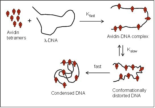 Figure 7. Proposed kinetic model of avidin-DNA complex formation based on fluorescence polarization and time-dependent fluorescence quenching data. The first-order rate constant kfast corresponds to initial electrostatic binding and recognition of accessible bases. The second rate constant, and kslow corresponds to avidin-induced alterations in DNA structure and conformation, respectively. The formation of condensed DNA is associated with a sudden decrease in polarization because of depolarizing light scattering which is observed at time = TmaxP (See Figures 2 and 3).