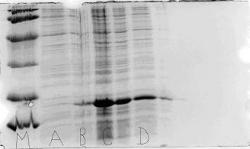 Figure 8. SDS Page gel for expression of xH2B. The expression of the positive control xH2B was successful. M represents the SDS PAGE Biorad marker used. The thick band in B, C, and D represent the xH2B protein expressed by the BL21 (DE3) Codon Plus Competent Cells. Two samples grown in 2 ml of cells that were expressing xH2B were used on the gel. A and B represent cells prior to induction. and C and D represent cells two hours after induction. The well between C and D was an overlap of well D, and is ignored.