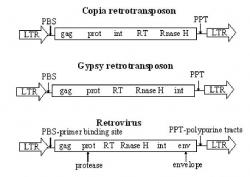 Figure 3. Structural comparison of Copia, Gypsy, and Retroviruses. This figure demonstrates the structural differences between Copia and Gypsy element, and then compares them to retroviruses. Gag is an intracellular packaging of the RNA transcript. EN is an endonuclease associtated with the integration into the genome. RT is a reverse transcriptase. Prot is a protease. Int is an intergase that mediates the specific DNA cleavage required for excision and integration. When these elements are compared to retrovirus it is apparent that they are very similar. Retroviruses contain all these components and one more; Env which is an envelope protein.