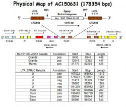 Figure 5. Physical map. This map is for AC150631. The total length of this BAC sequence is 178354 bps. This shows that LTRs are distributed randomly and that not every sequence will contain genes. BLAST and LTR_STRUC contained different results from one another, however both are correct. The positive and negative annotation refers to the direction in which it is transcribed.