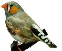 Female zebra finches prefer males with symmetric colorings. Image courtesy of www.finchworld.com/zebra.html