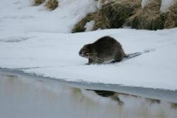 Figure 4. Beaver carrying twigs in Yellowstone National Park. Since wolf reintroduction in Yellowstone, beavers have had more trees for food and shelter, and their population has increased. Courtesy of NPS/Jim Peaco.