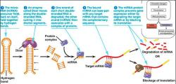 Figure 3. The schematic shows the major steps in miRNA processing and function. Image courtesy of Charles Mallery – University of Miami.