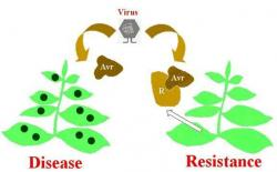 Figure 2. Host-pathogen recognition. If a plant has the appropriate R gene to correspond to the pathogen's Avr gene, then the plant is resistant and no disease develops. If, however, the plant does not have the matching R gene, the interaction may result in infection.