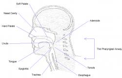 Figure 1. Sagittal diagram of the head and neck depicting relevant structures of the upper airway.