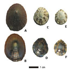 Figure 1. Shells of Patella candei gomesii (A-B) mansa and (C-F) mosca.