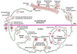 Figure 1. Schematic Representation of the Malarial Parasite's Life Cycle.