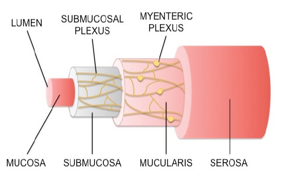 Figure 2. Enteric nervous system innervations throughout the gastrointestinal tract.  The submucosal plexus innervates the submucosa, which surrounds the mucosa. The mucosa is a mucous layer that lines the gut epithelium. The mucularis encompasses the myenteric plexus and surrounds the submucosa. The serosa, a layer of muscle, surrounds the two plexuses.