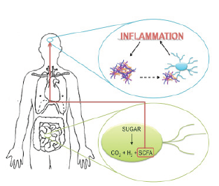 Figure 3. Proposed pathway of disease propagation from the gut to the brain.  Anaerobic gut bacteria metabolize sugar into carbon dioxide, hydrogen, and short chain fatty acids (SCFAs). The SCFAs cross the blood brain barrier and indirectly activate microglia. When alpha-synuclein aggregates in the brain come in contact with microglial cells, they also activate them. Microglial hyperactivation leads to inflammation. Proinflammatory environments promote alpha-synuclein aggregation, driving a feedforward inflammatory cascade. (Nygaard, 2010; Sampson et al., 2016)