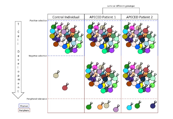 Figure 1.  The relationship between central and peripheral tolerance determines the profile of autoreactive T cells in the periphery. Positive selection expands T cell clones that garner a signal from MHC/self-peptide complexes. Negative selection filters out autoreactive T cell clones that bind with high affinity to MHC/tissue-specific antigen complexes. Inability to perform negative selection permits autoreactive T cell clones into the periphery. Peripheral tolerance suppresses a limited number of autoreactive T cell responses and, in cases of APECED, dictates the specific autoimmune symptoms of the patient.