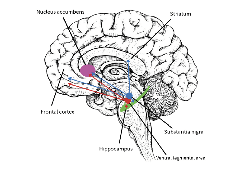 Figure 1. The mesolimbic reward pathway.  Pleasurable factors on an individual act upon the ventral tegmental area and the substantia nigra; both which have dopaminergic projections to the hippocampus, the striatum, the nucleus accumbens and the frontal cortex. These projections trigger behavioural changes, emotional changes, and can even stimulate pleasurable memories (Adinoff, 2004).