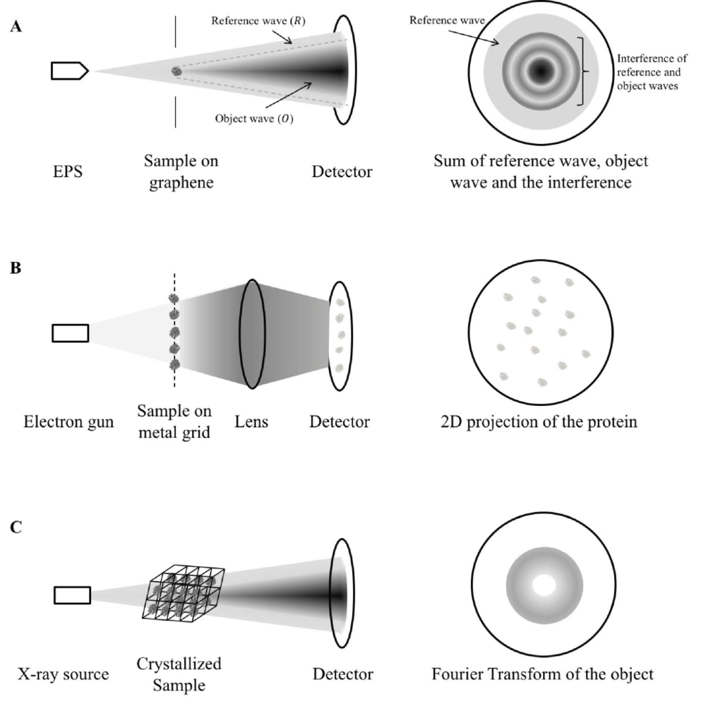 """Figure 1. Mechanism comparison between holography, cryo-EM and X-ray crystallography.  A) A coherent, low-energy electron beam is ejected by EPS and directed to the sample deposited on a graphene sheet. The hologram is a sum of the reference wave (electrons not scattered by the protein, R), object wave (electrons scattered by the protein, O) and the interference between the two. As shown in the figure, some reference waves do not interfere with the object wave and so it retains the phase information. The structure of the sample is calculated from separating the contribution by the object wave from the hologram and reversing the scattering process as described in detail in (Tatiana Latychevskaia & Fink, 2015). B) In cryo-EM, a high-energy electron gun, instead of a coherent electron point source is directed to the sample cryo-preserved on a metal grid. The high-energy electrons can be transmitted easily (in contrast to be scattered) across the protein sample and produce direct 2D projection of the protein samples onto the detector. The exact protein structure is constructed by averaging the images of different orientations instead of through calculation from a single protein. C) In X-ray crystallography, parallel X-ray beams are diffracted by the crystallized sample. As the reference wave is absent, the phase information is missing to reconstruct the protein structure, giving rise to the """"phase problem"""". This makes X-ray crystallography inferior to holography in terms of structure determination. EPS: electron point source."""