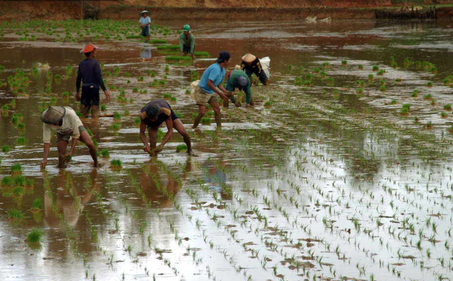 Figure 1. Farmers transplanting seedlings in a flooded rice field in Asia.  (Image from IRRI collection. Photographer information unavailable)