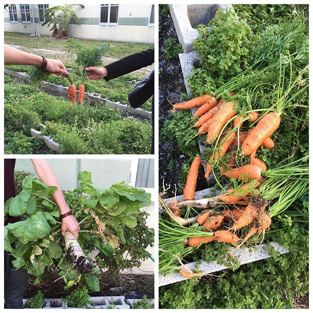 "We just grew, picked, and donated these tons of carrots and parsnips in a partnership with Atlantic Community High School's We The People Diversity Club with use of our compost as well. These all grew from potentially ""expired"" seeds. 🌱🍃 #carrots #parsnips #carrotgrowing #parsnipgrowing #gardenpartnership, #schoolgarden, #composting, #compost, #sustainability, #wastediversion, #bocaraton, #delraybeach, #boyntonbeach, #wastediversion, #composting, #green, #florida, #southflorida, #sustainable, #feedthepoor, #community, #environmentalism, #produce, #palmbeachcounty, #nonprofit, #palmbeachcompost, #sprout, #sprouting, #growsomethinggreen, #urbangardenersrepublic"