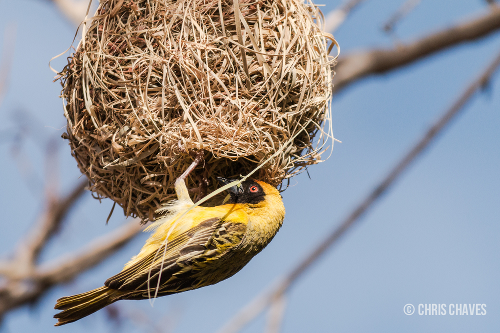 Southern Masked Weaver in Namibia