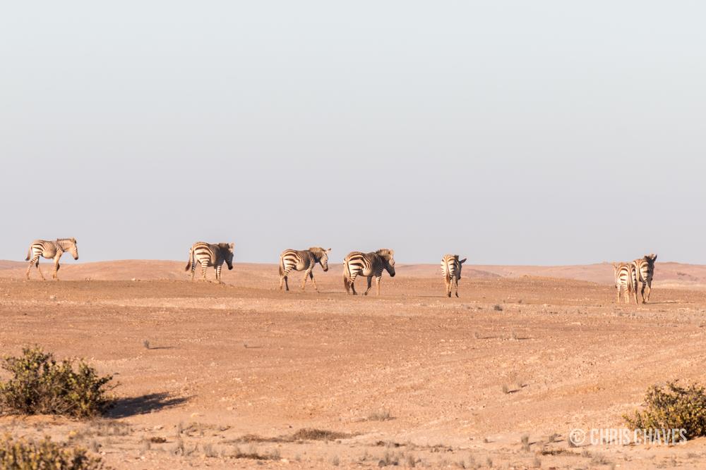 Hartmanns Mountain Zebra herd.jpg