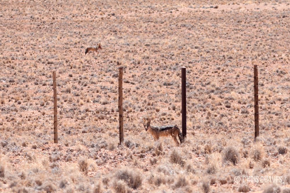 Jackals in Namibia.jpg