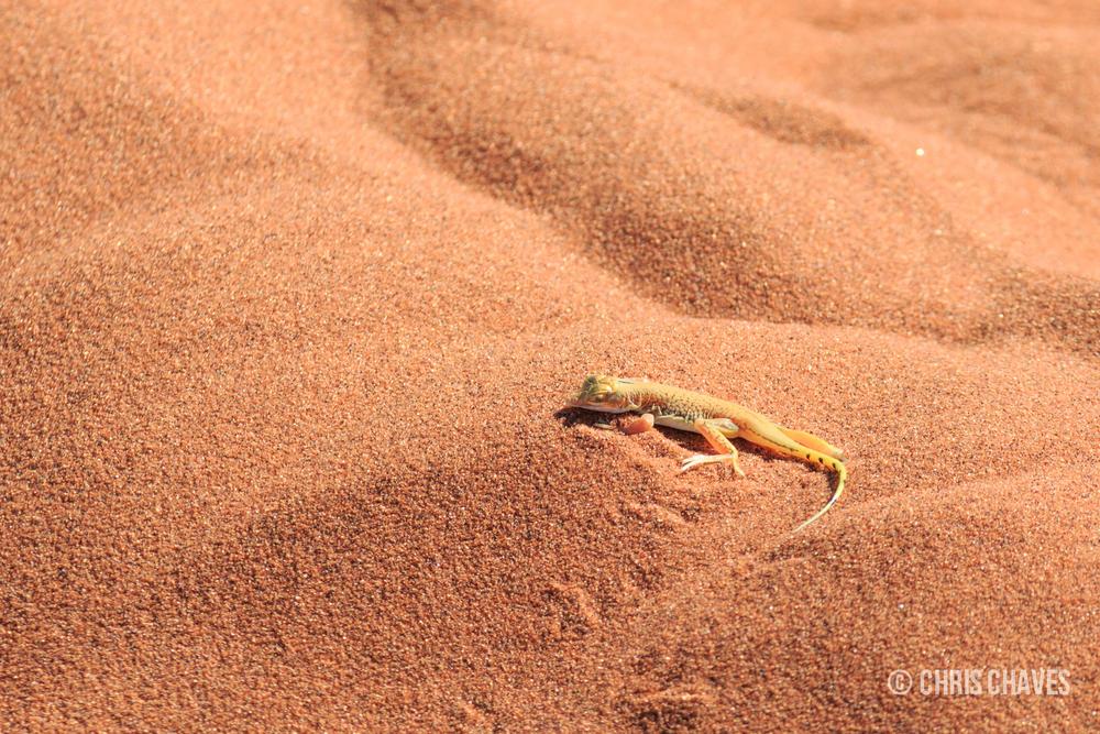 Shovel Snouted Lizard.jpg