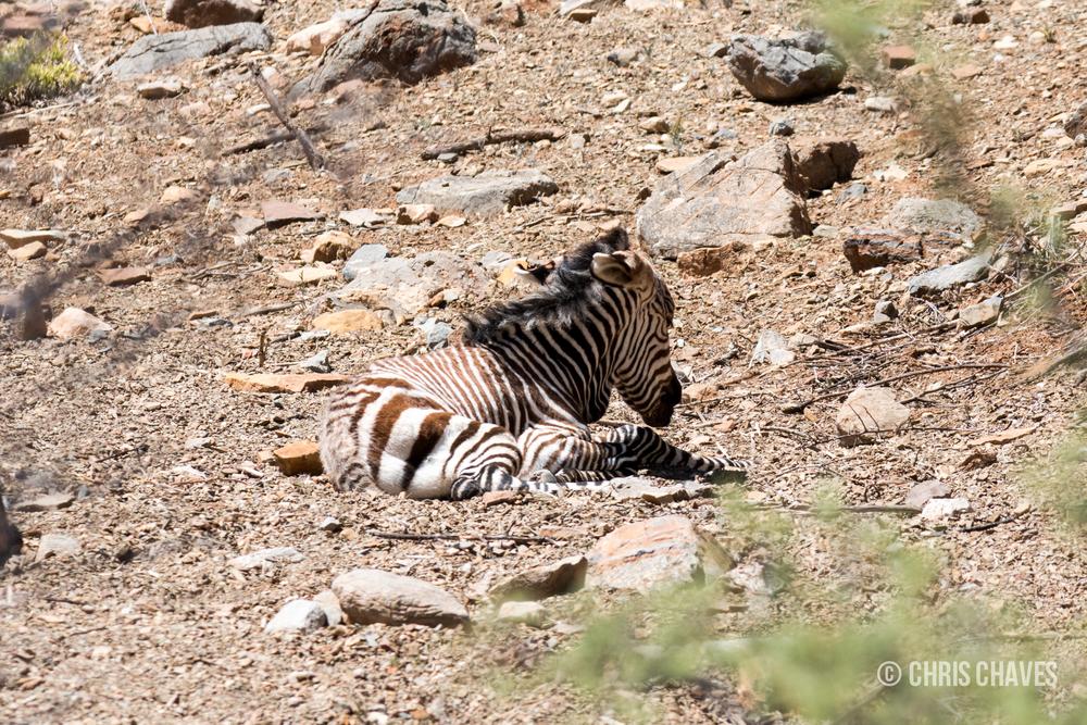 Hartmann's zebra foal