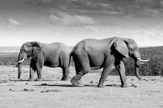 Watching elephants at #addo elephant national park in South Africa