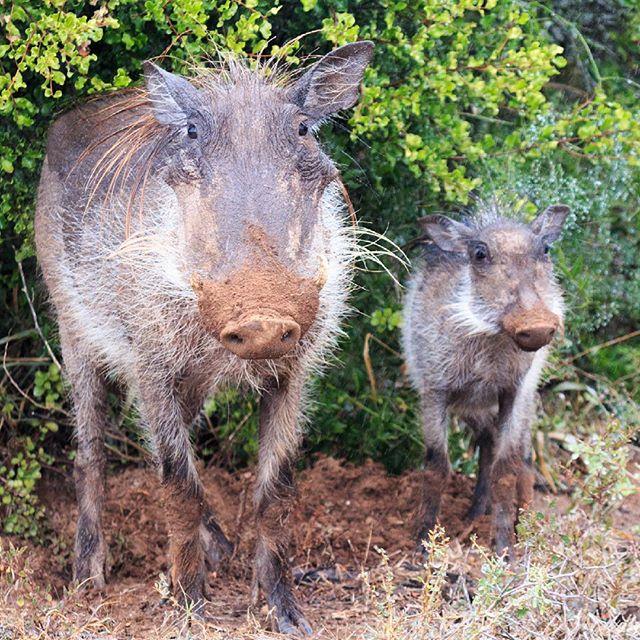 Like father, like son #pumbaa #warthog #addoelephantpark 👍