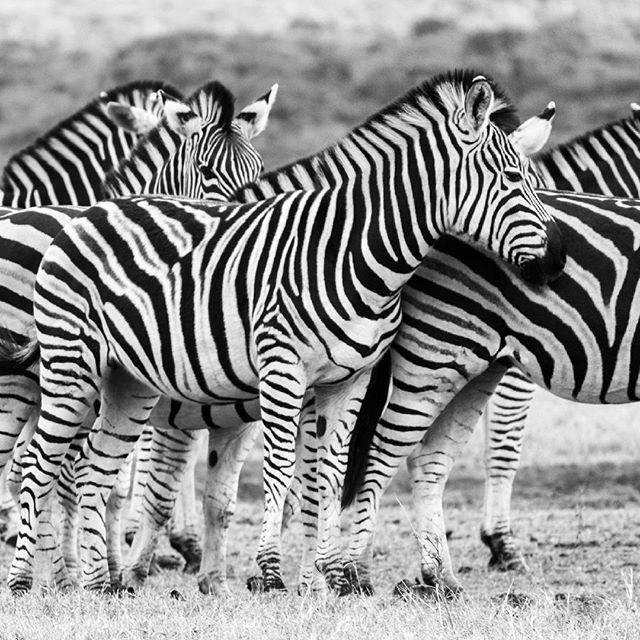 Zebra waiting for the elephants to finish drinking at the water hole to have their turn #zebra #addoelephantpark