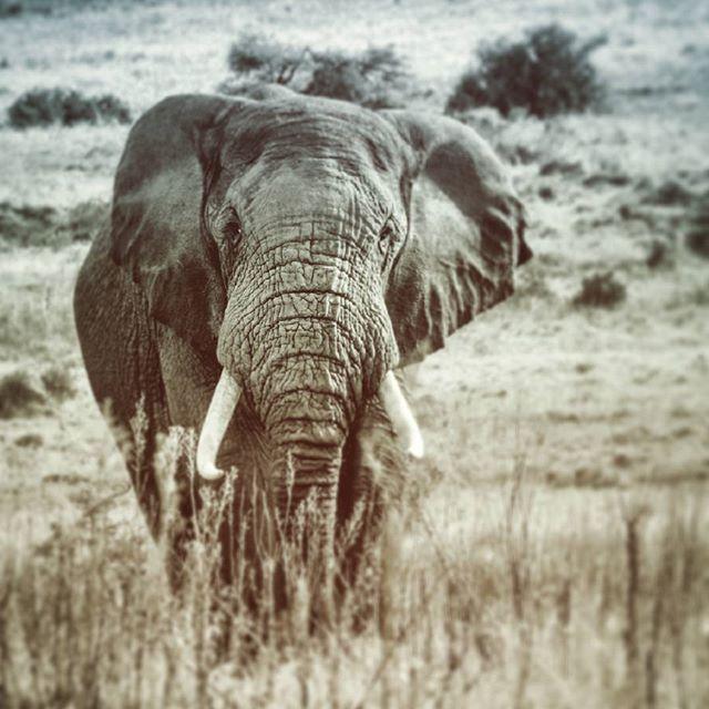 #africanelephant