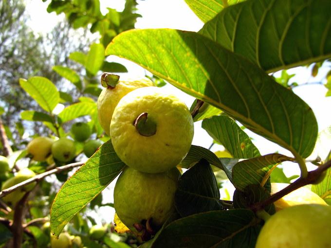 guava-tree-key-lime-pie