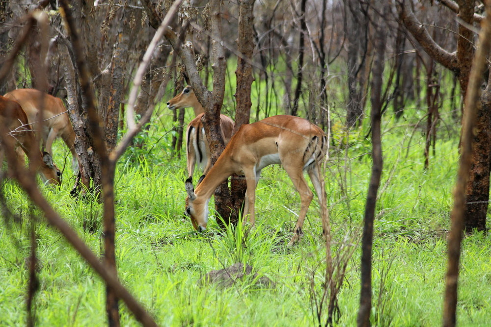 kudu-akagera-rwanda.JPG