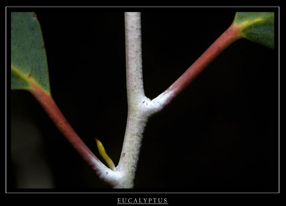 eucalyptus.1..jpg