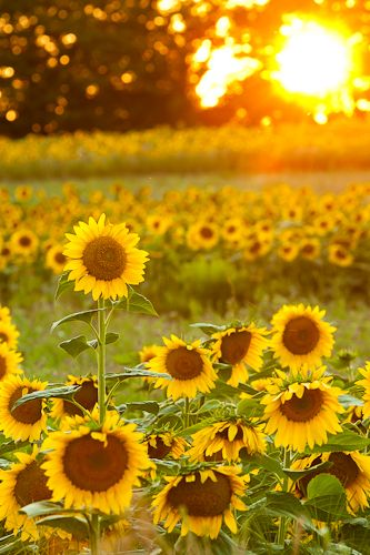 sunflowers_photography_entrepreneurs_lifestyle