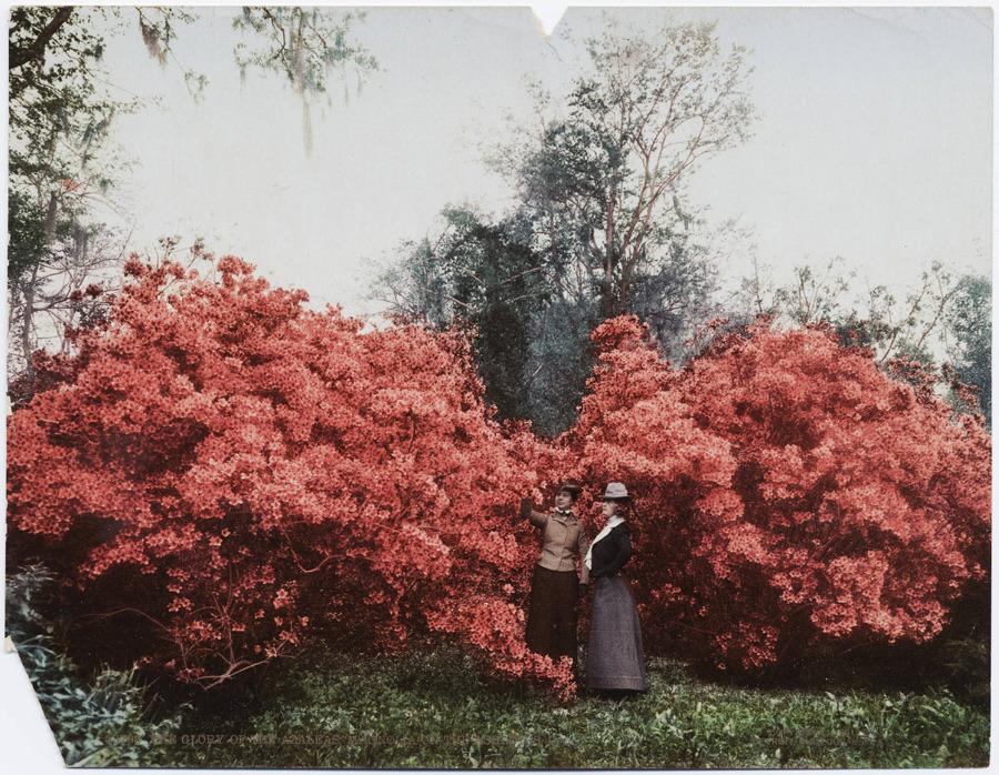 The Glory of Azaleas, Magnolia-on-the-Ashley, S. C., c. 1901