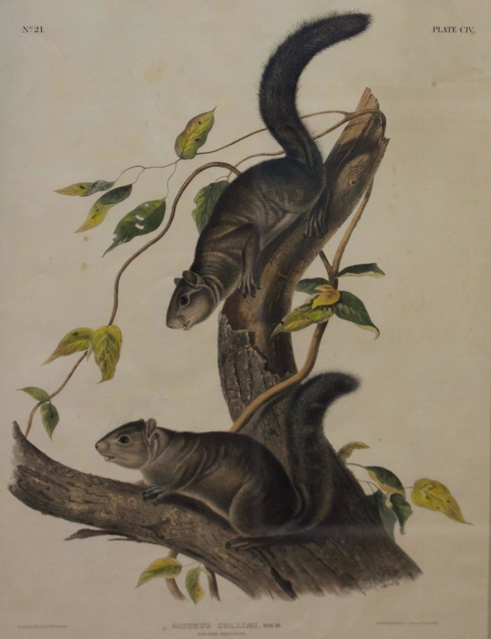 John James Audubon     Collies Squirrel, Sciurus Colliaei, Rich.    Bowen Lithograph, 1847  Framed  BV0275