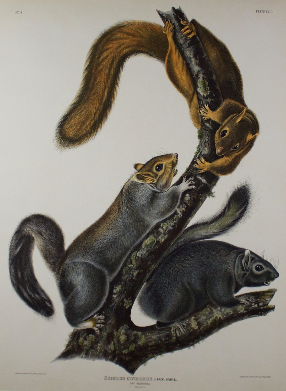 John James Audubon     Cat Squirrell - Sciurus Cinereus, Linn Gmel.   Plate 17 - Plate XVII  Lith Printed & Coll. J.T. Bowen, Phila., 1843  CJO0002