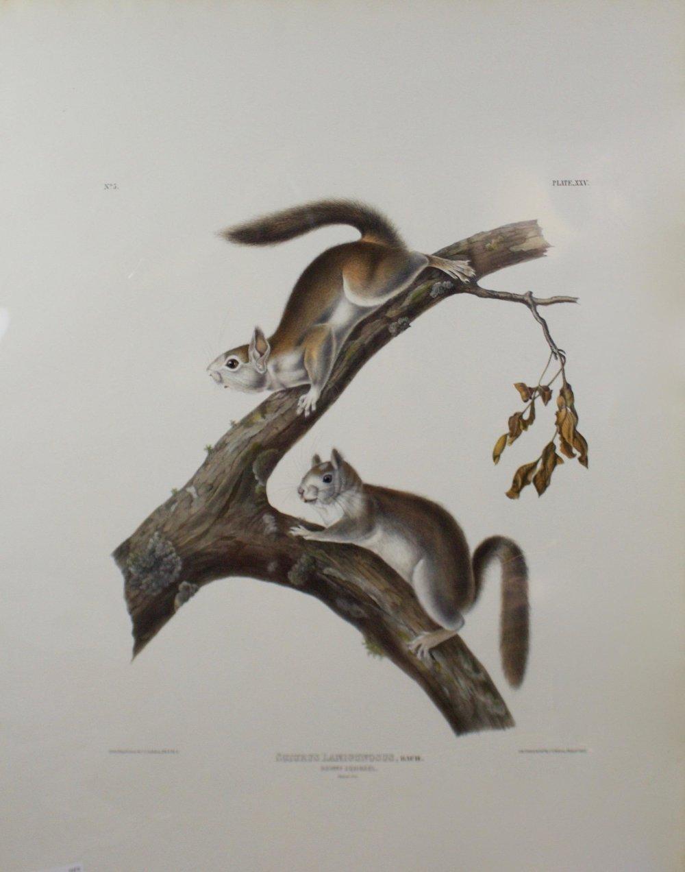 John James Audubon     Downy Squirrel - Sciurus Lanigunosus, Bach.   Plate 25 - Plate XXV  Lith Printed & Coll. J.T. Bowen, Phila., 1843  CJO0003