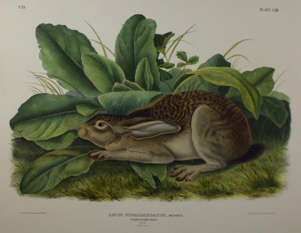John James Audubon     Black Tailed Hare - Lepus Nigricaudatus, Bennet.   Lith Printed & Coll. J.T. Bowen, Phila., 1845  Plate 63 - Plate LXIII  CJO0004