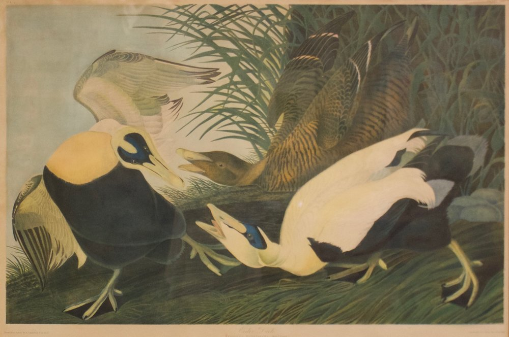 "John James Audubon     Eider Duck   Framed 39"" x 50.5""  CJW0001"