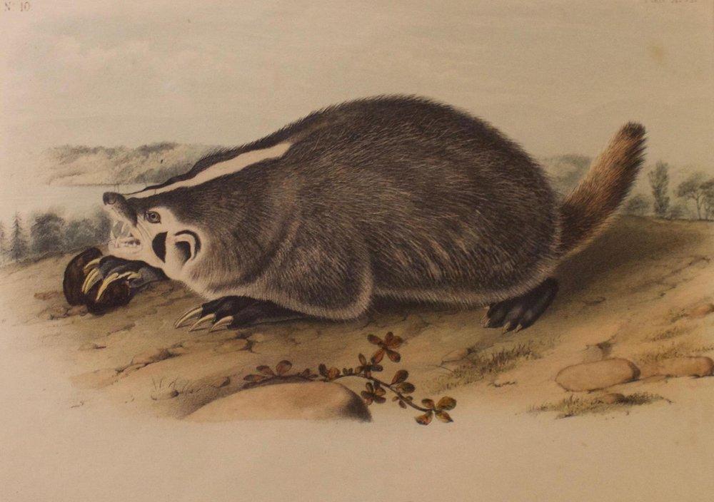 "John James Audubon     Octovo Audrupeds   Bowen Lithorgraph, Plate 47  Framed 12"" x 14""  BV0618"