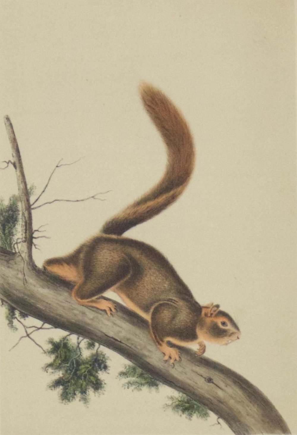 John James Audubon     Red Tailed Squirrel   On Stone by W.E. Hitchcock  Lith Printed and Cold by J.T. Bowen, Phila  Drawn from Nature by J.J. Audubon FRSFLS  Framed  BV0644