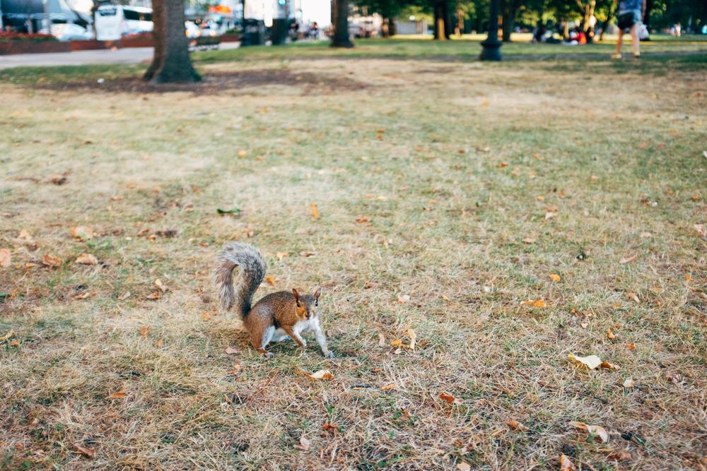Aggressively confused squirrel in Boston Common.