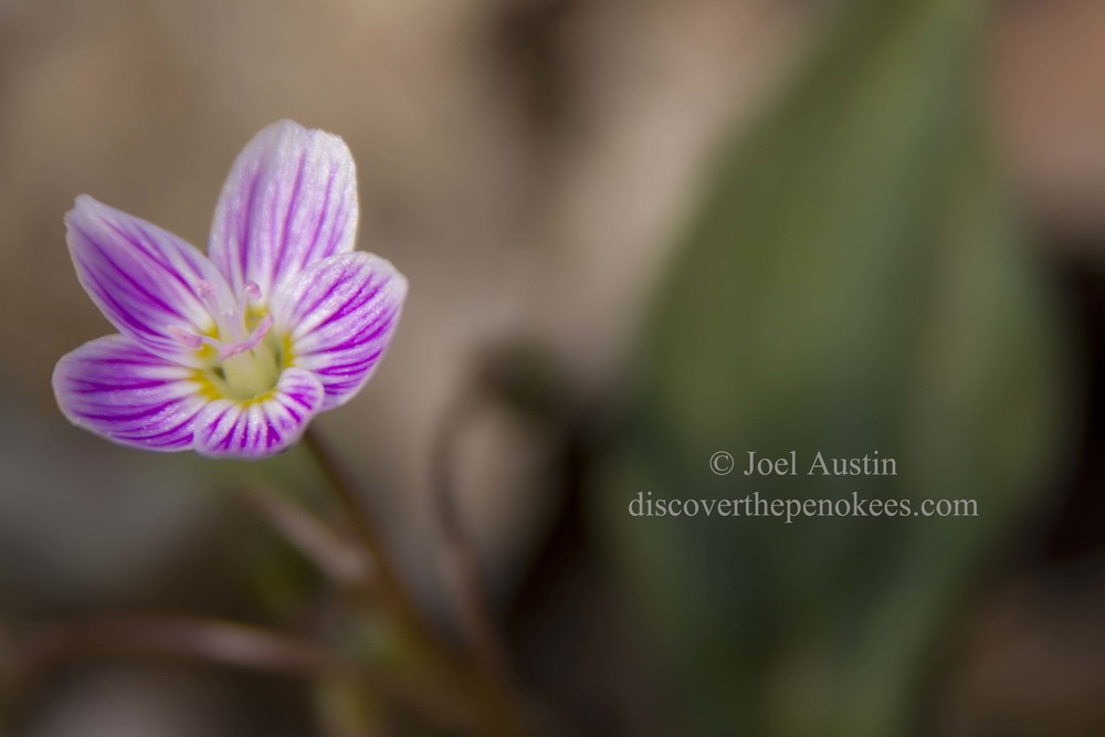 CFSP Wood anemone IMG_3478.jpg
